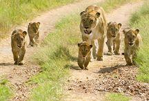 Tanzania Safari / Plan your dream safari today! http://www.authenticafricansafaris.net/