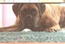 Boxer Sammy / Hundebesitzer Boxer Dog Hund deutscher Boxer