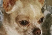 My very own Chihuahua / My pet, my baby... LOLO