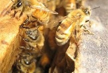 Bees & Pollinators / Info on various pollinators and why they matter