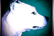 Viktor / My dog, American staffordshire terrier