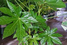 Things Araliaceae, the Aralia family