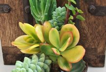 Succulents / I think I may have a new obsession  / by Pat Ahrens