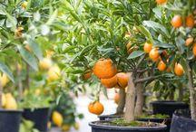 como plantar arb  frutales