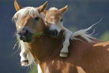 paarden  / Lol