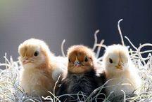 csirkék<3