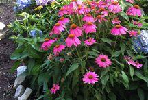 My Garden / Daylilies / by Kathy Bellavia