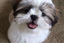 Future dog / Im gonna have a Shih Ton and you CANT stop me