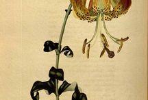 gravures planten en kruiden