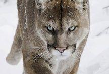Cougar mounts