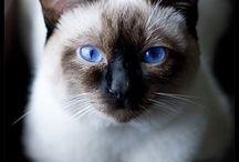 Sziámi macskák