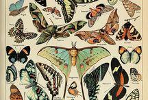 Papillons/Fjärilar