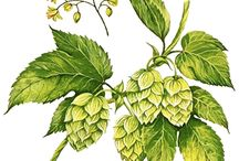 Hops / Pretty pictures of hops