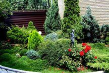 Сад-огород. Хвойные