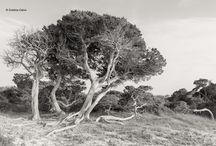 Sabinas / #Árboles de #Formentera, España #sabinas #trees