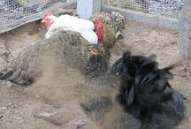 Chickens / All things Chickens