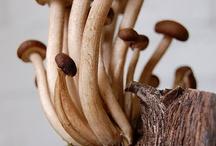 funghia