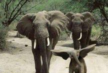 ελεφαντας