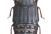micropeplidae
