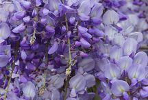 Glicine Wisteria Prolific Viola