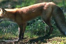 Mood-Rataplan - A cegonha e a raposa