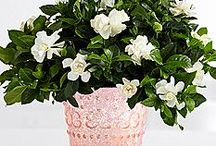 Gardenia / The gardenia makes a great houseplant that can also be planted in the yard!