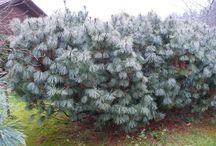 Pinus pumila Törpe cirbolya