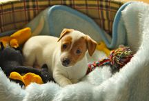 Dogs / JRT