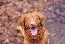 Toller / All about Orange dogs