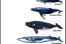 Whale / orca / Whaleshark
