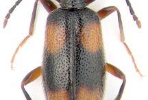 anticidae