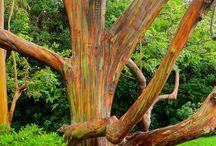 Rainbow eucalyptus in maui