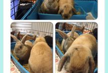 Rabbit Bonding Gallery / We offer a rabbit bonding service, where rabbits are introduced under control conditions, so they can be live together as friends :) We bond rabbits for customers and for Barnsley Animal Rescue Charity.