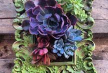suculent succulent