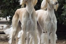 saluki & other hounds