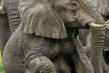 Elephants / Beautiful pics of gentle and gracious elephants