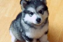 Miniature husky dog