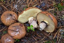 Nordic Mushrooms