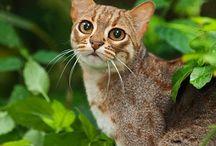 Rusty spotted cat / Cat