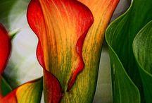 Flowers - Lilies
