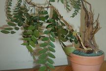 Árboles artificiales. Műfák. A KERTEM, MI JARDIN / Este es un árbol de acacia echo con troncos, hojas y espinos originales de - Gleditsia triacanthos-