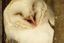 (Barn) Owls