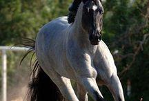 Roan horses