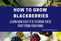 Blackberries plants