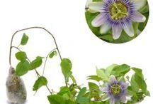 Tanaman Merambat Bunga / Semua tanaman dalam board ini bisa dikirim keseluruh Indonesia, silahkan order ya, tel: 0341-599399 I SMS center: 08569020300 atau kunjungi website kami www.kebunbibit.id