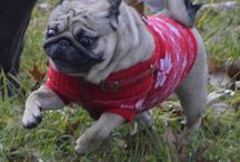 Kulka the Pug / photos of my beloved pug Kulka #pug #puglet #crazy pug #crazy dog #alien dog