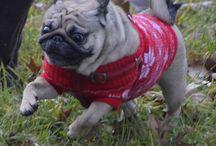 Kulka the Pug / photos of my beloved pug Kulka #pug #puglet #crazy pug #crazy dog #alien dog