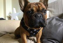 Frenchie: Bimbo / Frenchie bulldog francés frenchbullgog  https://www.instagram.com/frenchie_bimbo/