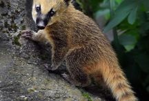 coati mexique