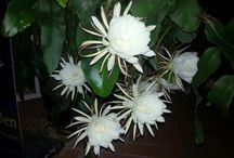Flowers / Queen of the night.  Night flowering  plant.